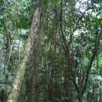 Banyan Tree Curtain Roots