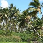 Coconut Grove in Yabucoa