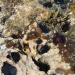 Sea Urchens in Playa Sucia