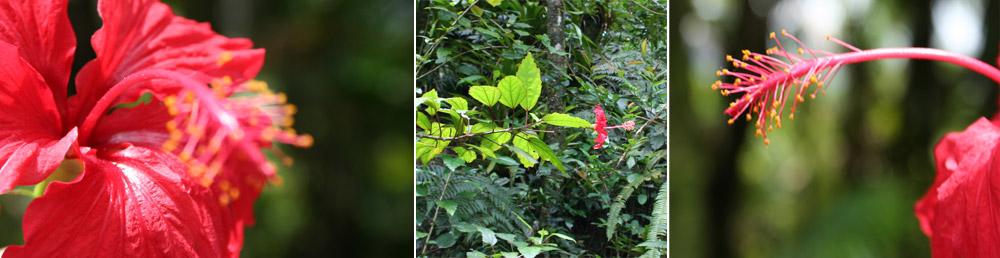hibiscus-jamaica